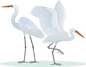 Color set, illustration with two different, detailed drawings, Great Egrets.