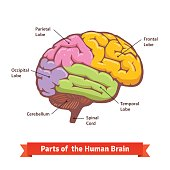 Free download of labeled diagram of hibiscus flower vector graphics colored and labeled human brain diagram ccuart Images