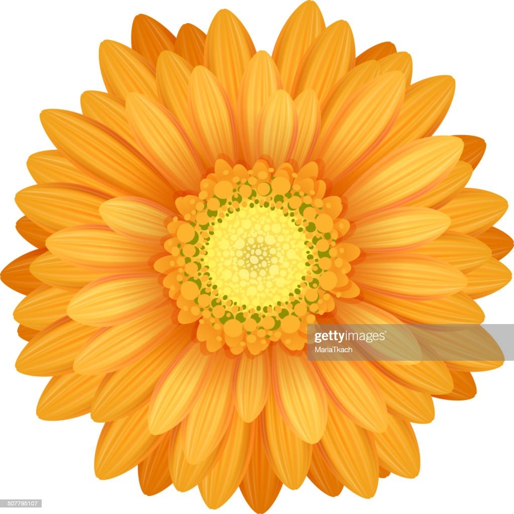 Colorful gerbera flower head - yellow and orange colors.