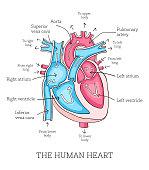 Colorful hand drawn illustration of human heart anatomy