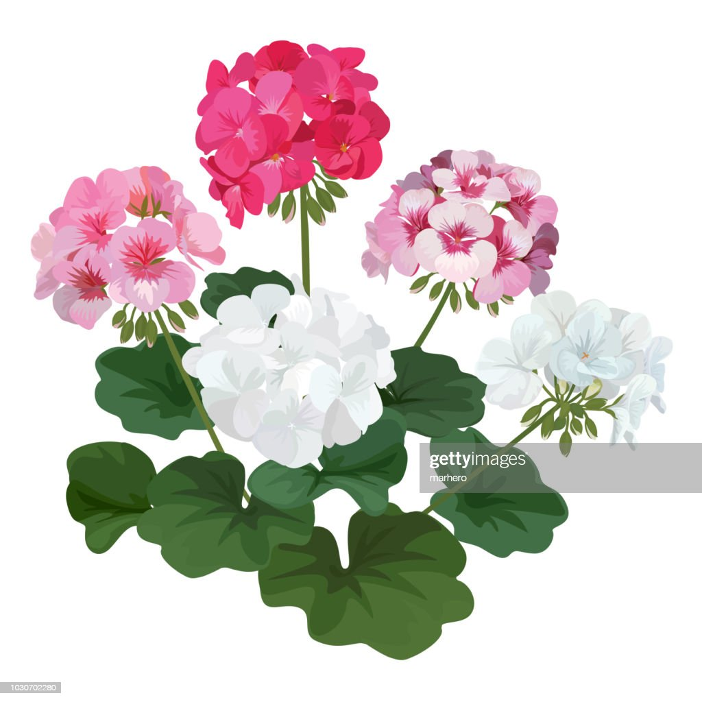 Colorful of geranium flowers with leaf bouquet.