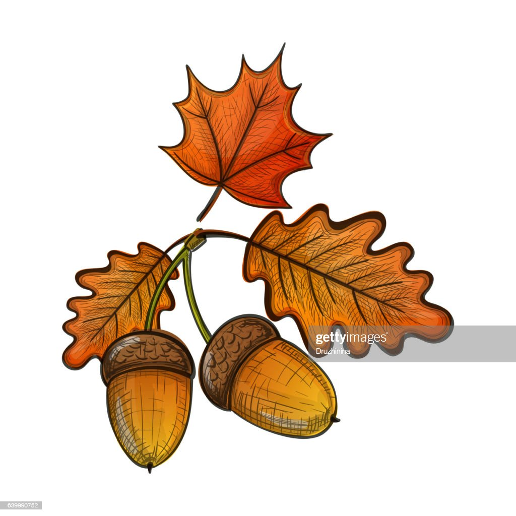Colorful sketch of an oak leaf and acorn