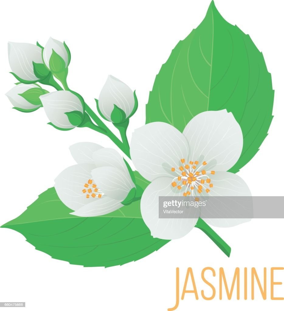 A Colorful Tender Branch Of Jasmine Flower With Buds Leaves Vector