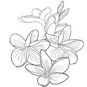 coloring Hawaiian plumeria flower an exotic. vector illustration
