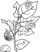 Coloring page. Different stages of development of Colorado potato beetle or Leptinotarsa decemlineata on damaged potato leaf