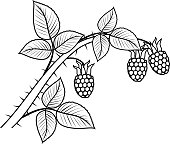 Coloring page. Raspberry branch with berries and leaves