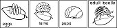 Coloring page. Sequence of stages of development of Colorado potato beetle or Leptinotarsa decemlineata from egg to adult insect