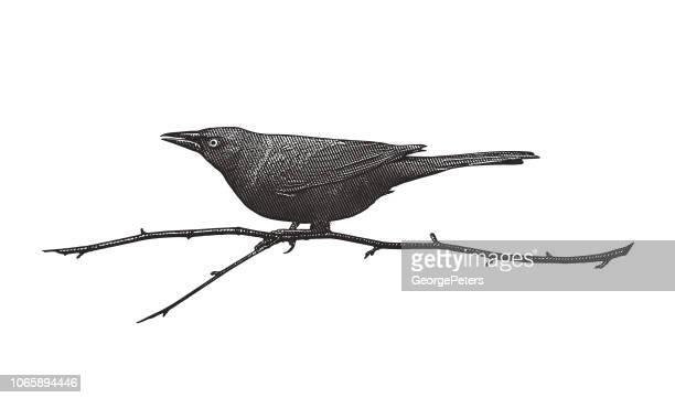 ilustrações, clipart, desenhos animados e ícones de comum grackle empoleirar-se no galho - pássaro
