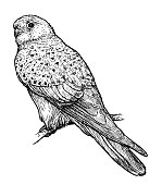 Common Kestrel illustration, drawing, engraving, ink, line art,   vector