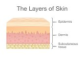 Components of human Skin layer in vector style.