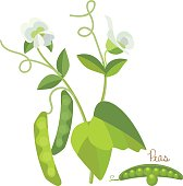 Concept of cereals and legumes. Fresh garden green peas