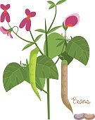 Concept of legumes plants with leaves, seeds. Types of beans