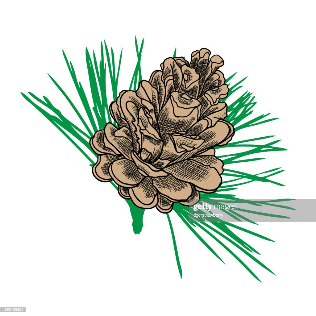 Conifer Cone On Pine Tree Branches Pine Cone Hand Drawing In Color ...