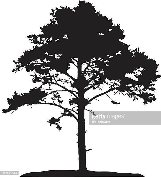 Coniferous tree, vector