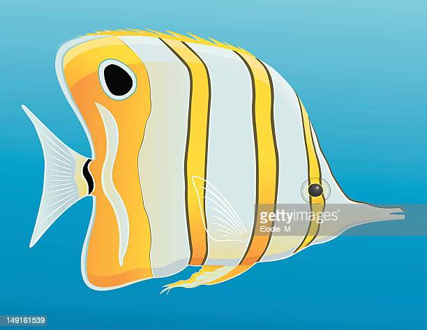 copperband butterflyfish / chelmon rostratus - butterflyfish stock illustrations, clip art, cartoons, & icons