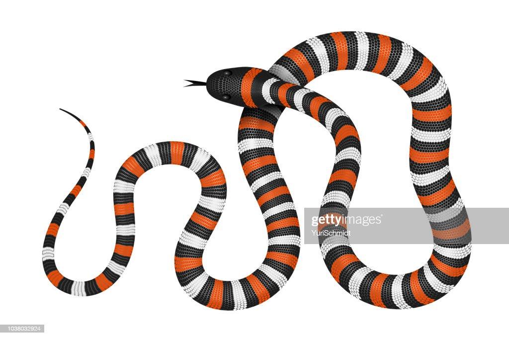 Coral snake vector illustration
