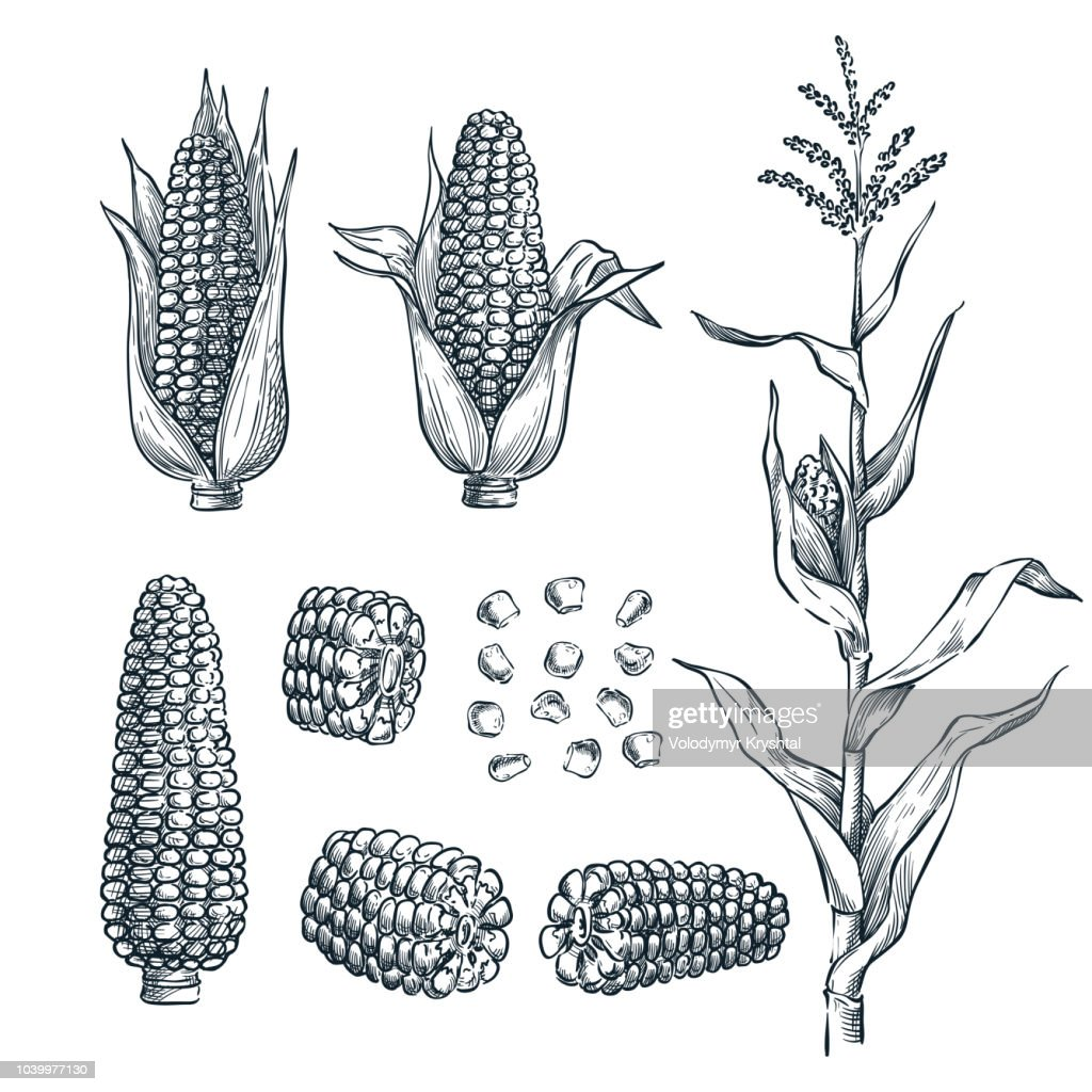 Corn cobs, grain, vector sketch illustration. Cereal agriculture, hand drawn isolated design elements