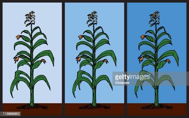 corn stalk pattern - zea stock illustrations, clip art, cartoons, & icons