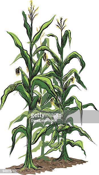 corn stalks with tassels and illustration isolated on white background - corn stock illustrations, clip art, cartoons, & icons