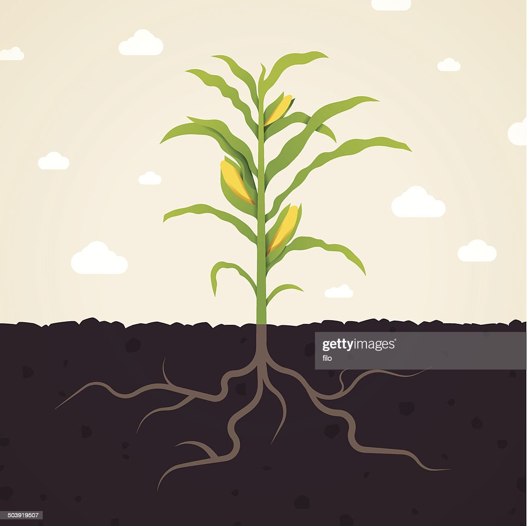 Corn : stock illustration