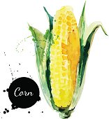 Corncob with leaf. Hand drawn watercolor painting on white backg