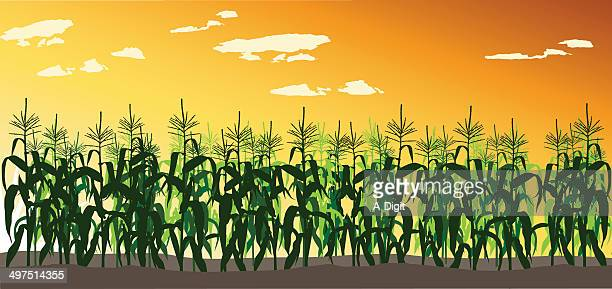 cornfield - corn stock illustrations, clip art, cartoons, & icons
