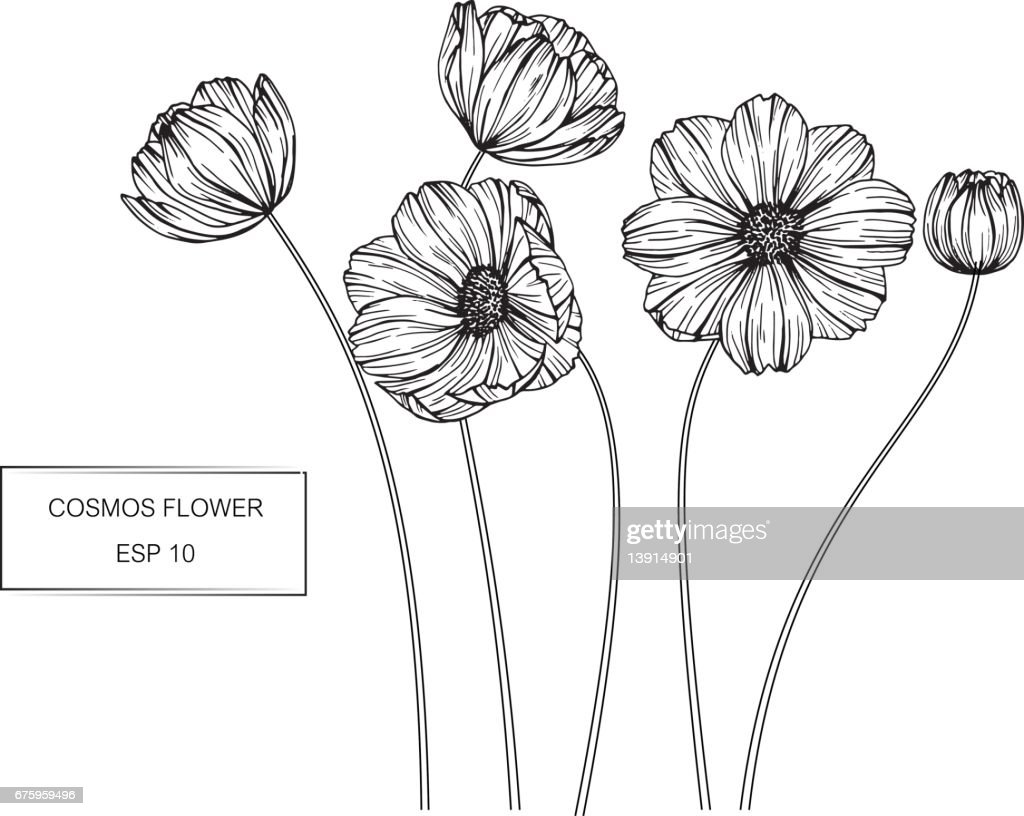 Cosmos flowers drawing and sketch with line-art on white backgrounds.