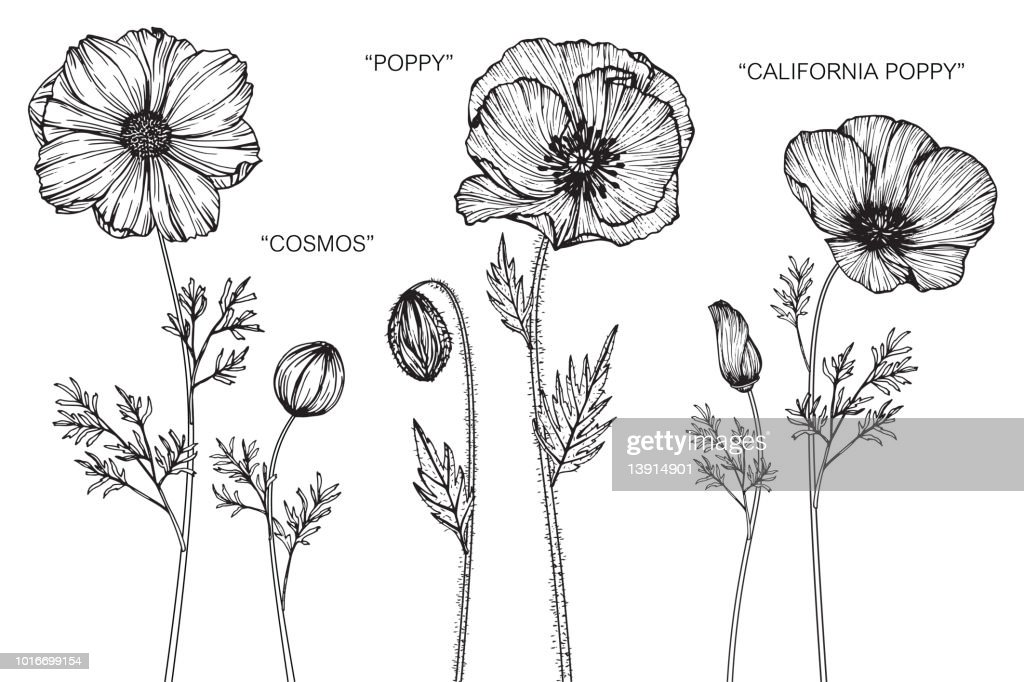 Cosmos, Poppy, California poppy flower drawing illustration. Black and white with line art on white backgrounds.