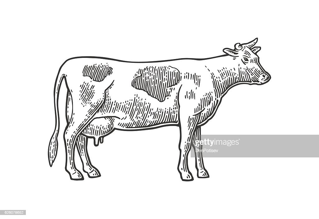 Cow. Hand drawn in a graphic style. Vintage vector engraving