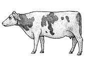 Cow illustration, drawing, engraving, line art, realistic, vector