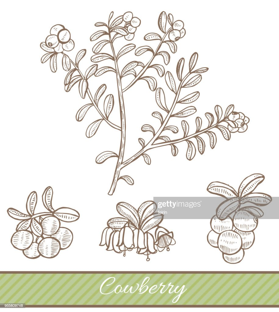 Cowberry in Hand Drawn Style