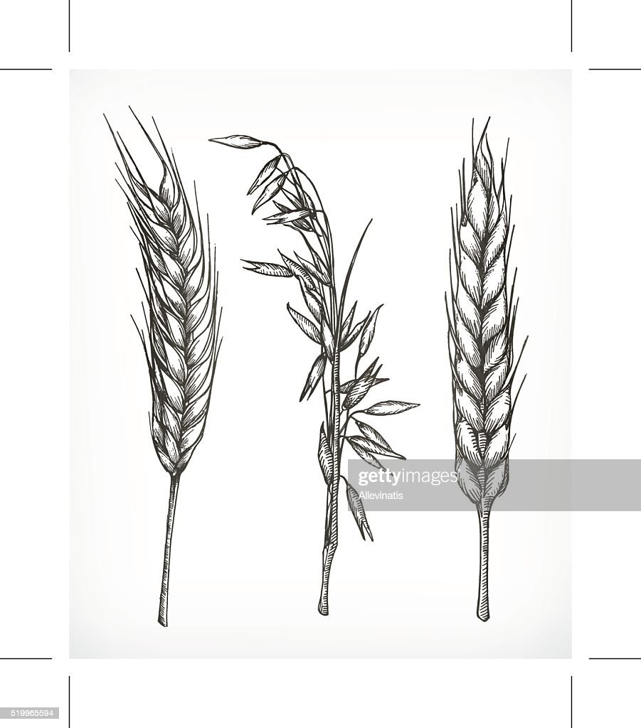 Crops, wheat and oat sketches