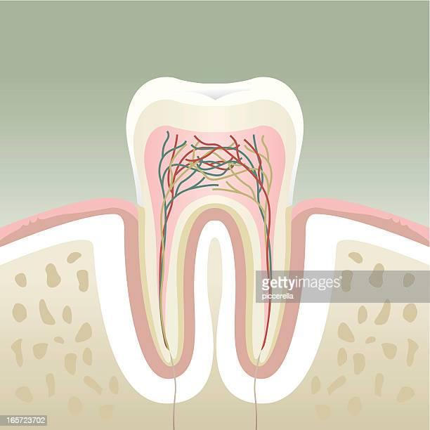 illustrations, cliparts, dessins animés et icônes de section de dents - partie du corps humain