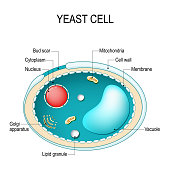 Cross section of a yeast cell. Structure of fungus cell.