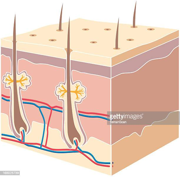 cross section skin - tissue anatomy stock illustrations, clip art, cartoons, & icons