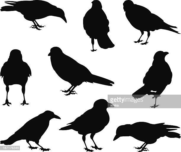 crows - crow stock illustrations