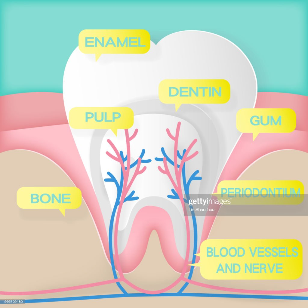 cute cartoon tooth structure