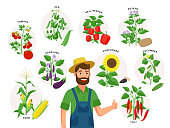 Cute farmer and his harvest around him. Set of vegetable plants and ripe fruits, tomato, chili pepper, sunflower, corn, pea, cucumber, potato isolated on white background, illustrations in flat design