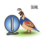 Cute Zoo alphabet Q with cartoon quail, bird kid animal vector funny illustration isolated on backdrop, Education for children, preschool, ABC poster for learn to read, character design, mascot