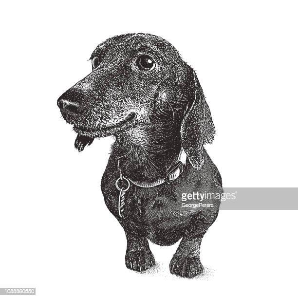 dachshund dog in animal shelter hoping to be adopted - pure bred dog stock illustrations
