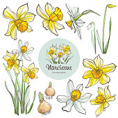 Daffodil flowers, isolated on white background. Hand-drawn illustrations.