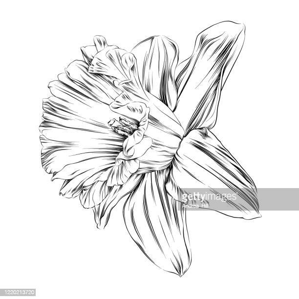 daffodil pen and ink vector illustration - daffodil stock illustrations