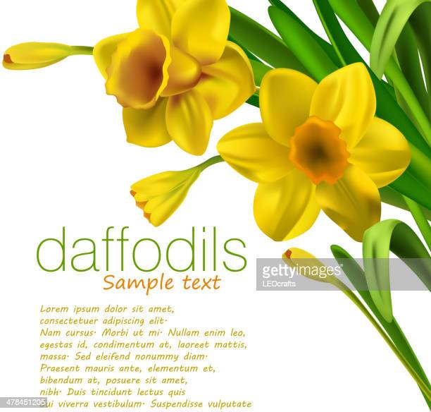 daffodils isolated on white - daffodil stock illustrations, clip art, cartoons, & icons