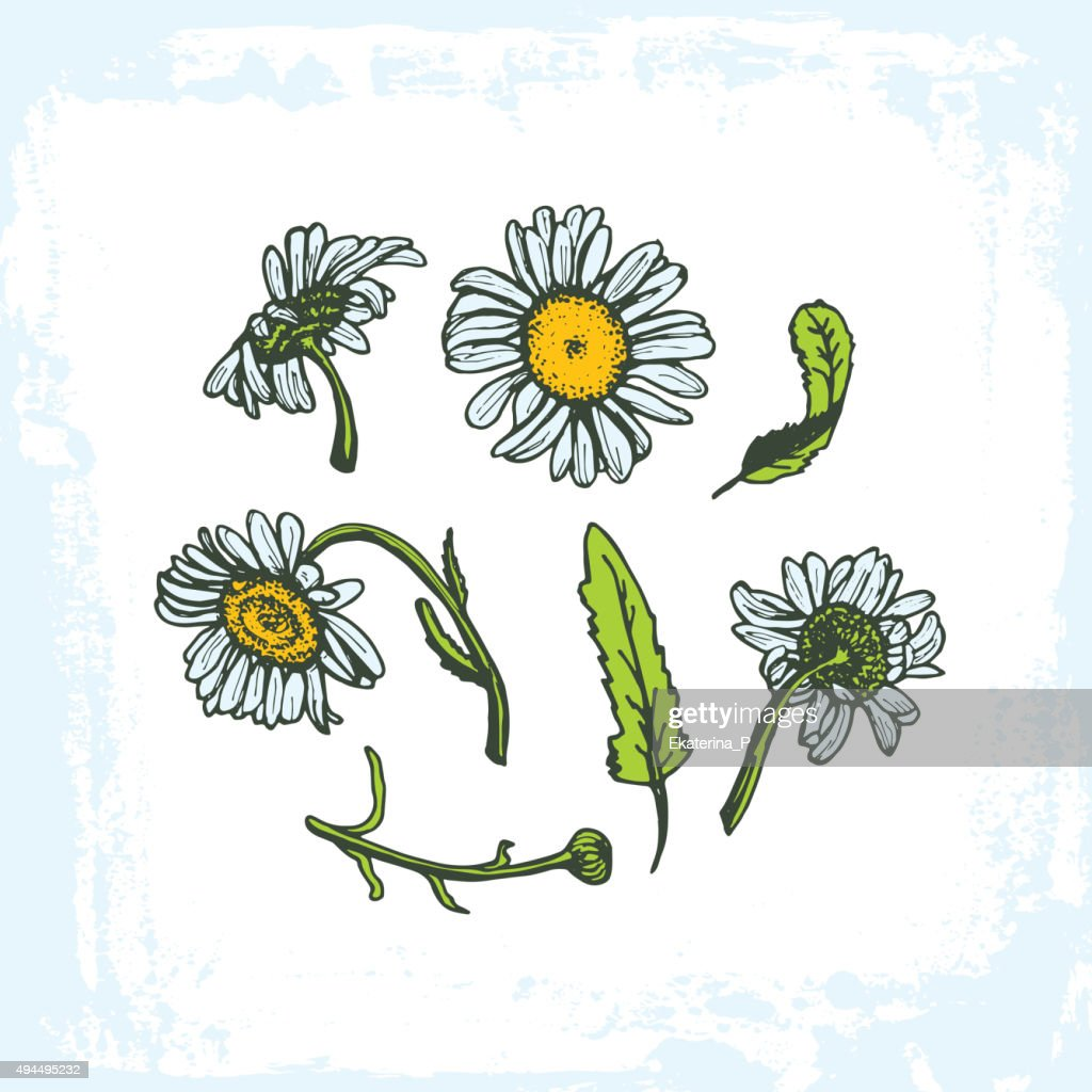 daisies on white background flowers leaves branches, grunge frame background.