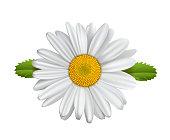 Daisy flower, Chamomile isolated, Marguerite, daisies,