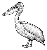 Dalmatian Pelican illustration, drawing, engraving, ink, line art,   vector