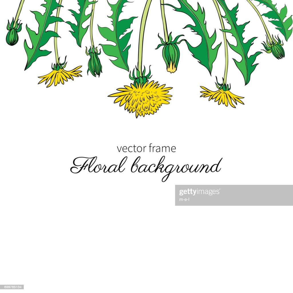 Dandelion flower, bud, leaves hand drawn vector ink colorful sketch isolated on white background, Decorative graphic floral frame for natural cosmetic, design package tea, florist shop, wedding