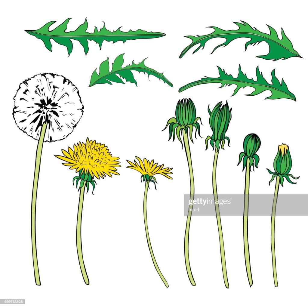 Dandelion flower, bud, leaves vector colorful botanical sketch hand drawn isolated on white, vintage romantic style for greeting card, package cosmetic, page magazine, web sites, wedding invitations