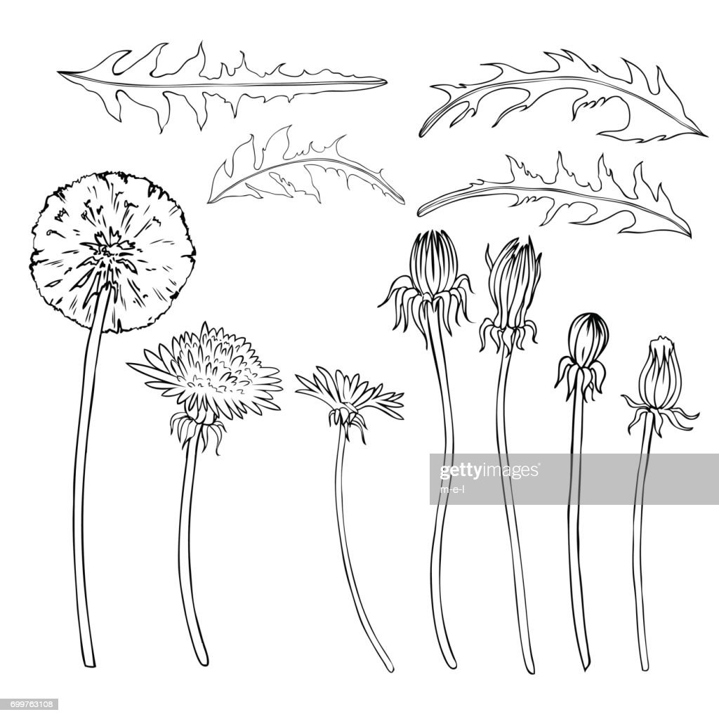 Dandelion flower, bud, leaves vector engraving botanical sketch hand drawn isolated on white, vintage romantic style for greeting card, package cosmetic, page magazines, web sites, wedding invitations