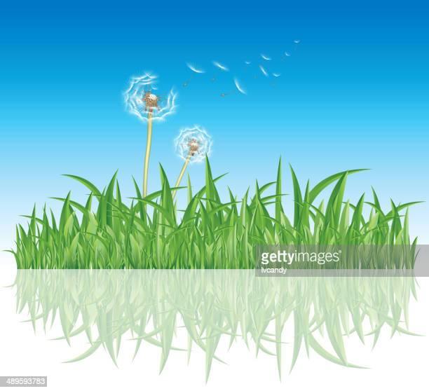 Dandelion in grass